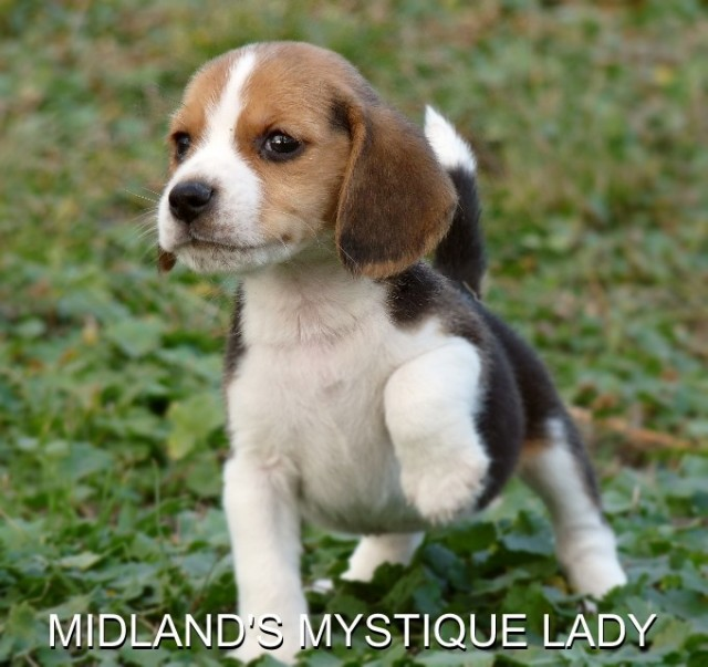 Beagle dating site
